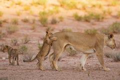 Löwin und Junge spielen im Kalahari auf Sand Lizenzfreie Stockfotos