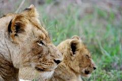 Löwin und Junges Lizenzfreie Stockbilder