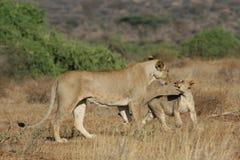 Löwin und Junges lizenzfreies stockfoto