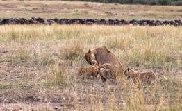 Löwin und Junges drei Savanne des Masais Mara, Kenia stockfotos