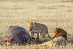 Löwin und Löwe auf Flusspferdabbruch Stockfotografie