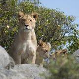 Löwin- und Löwejunge im Serengeti Staatsangehörigen Lizenzfreies Stockbild
