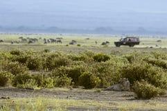 Löwin und Safarifahrzeug auf Hintergrund Stockfoto