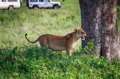 Löwin unter dem Baum Lizenzfreie Stockfotografie