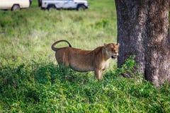 Löwin unter dem Baum Lizenzfreie Stockfotos