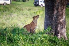 Löwin unter dem Baum Stockbilder
