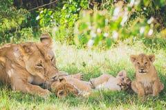 Löwin waschen ihr neugeborenes Junges, Bruder und Schwester spielen im Gras lizenzfreies stockfoto
