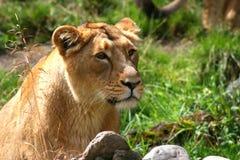 Löwin, welche die Sonne genießt stockbild