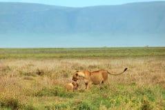 Löwin zwei lizenzfreies stockbild