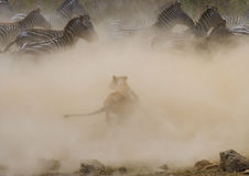 Löwinangriff auf einem Zebra Chiang Mai kenia tanzania Masai Mara serengeti lizenzfreie stockbilder