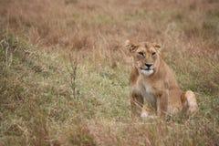 Löwinaufwartung Stockfoto