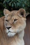 Löwinkopf Stockbild