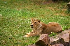 Löwinlegen Stockfotos