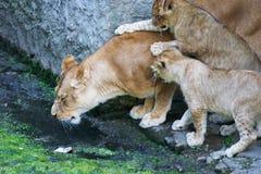 Löwinmutter und ihre Junge Stockfotografie