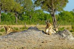 2 Löwinnen, die auf einem Termitenhügel stillstehen lizenzfreies stockfoto