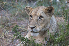 Löwinporträt Stockbilder