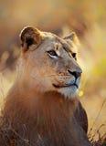Löwinporträt, das im Gras liegt Lizenzfreie Stockbilder