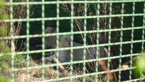 Löwinrest am Zoo stock video