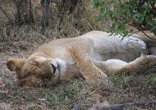 Löwinschlafen Lizenzfreie Stockfotografie