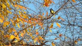 Lúpulo dos pássaros aproximadamente nos ramos do outono filme