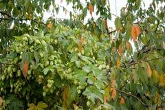 Lúpulo em uma árvore Foto de Stock Royalty Free