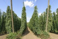 Lúpulos crescidos Oregon, vale meados de-Willamette, o Condado de Polk Oregon Fotografia de Stock