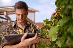 Lúpulos de avaliação do jardineiro masculino em um jardim do telhado para a produção orgânica da cerveja foto de stock royalty free