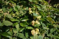 Lúpulos na flor Imagens de Stock