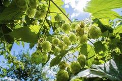 Lúpulos que crescem na folha da planta do lupulus do Humulus backlit pelo foco seletivo do sol imagem de stock