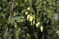 Lúpulos usados na cerveja que faz pronta para colher Fotografia de Stock Royalty Free