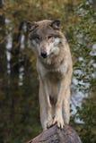 Lúpus de Canis do lobo Foto de Stock