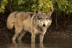 Lúpus de Canis do lobo Fotos de Stock Royalty Free
