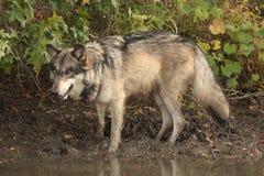 Lúpus de canis do lobo Imagem de Stock