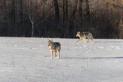 Lúpus de Grey Wolves Canis no campo nevado fotos de stock