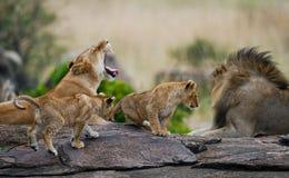 Lüge einiger Löwen auf einem großen Felsen kenia tanzania Maasai Mara serengeti Lizenzfreie Stockbilder