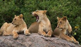 Lüge einiger Löwen auf einem großen Felsen kenia tanzania Maasai Mara serengeti Stockfotos