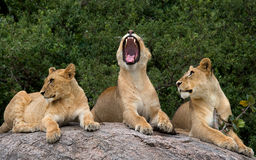 Lüge einiger Löwen auf einem großen Felsen kenia tanzania Maasai Mara serengeti Stockfotografie