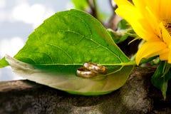 Lüge mit zwei Eheringen auf einer großen Sonnenblume Stockfotografie