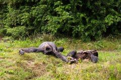 Lüge mit zwei Schimpansen in der Wiese Stockfoto