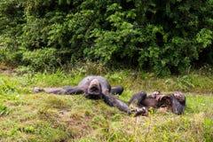 Lüge mit zwei Schimpansen in der Wiese Stockfotografie