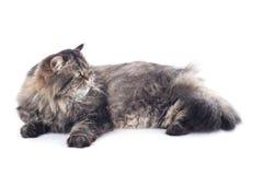 Lügen der persischen Katze Stockfotos