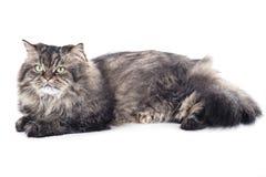 Lügen der persischen Katze Stockfotografie