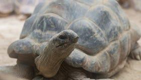 Lügen der riesigen Schildkröte Stockfotos