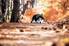 Lügen des sibirischen Huskys lizenzfreie stockfotografie
