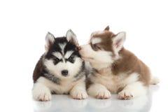 Lügen mit zwei Welpen des sibirischen Huskys Lizenzfreie Stockfotos