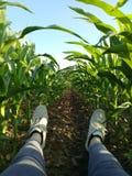 Lügen unter Maispflanzen Lizenzfreie Stockfotografie
