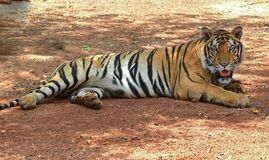 Lügenbengal-Tiger Stockfotografie