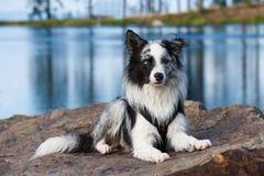 Lügenborder collie-Hund in der Natur lizenzfreie stockbilder