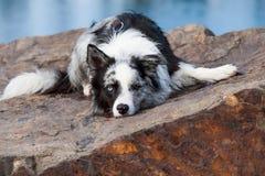 Lügenborder collie-Hund in der Natur stockfotografie