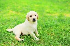 Lügenc$stillstehen netter Hundewelpe Labrador retrievers auf Gras lizenzfreies stockfoto